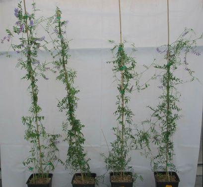 Plants of vetches.