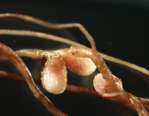 Nodular formation created by bacteria in the roots of vetch .